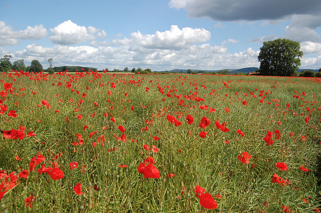 Poppies outside Thirsk by westy48 - Walks in Hambleton