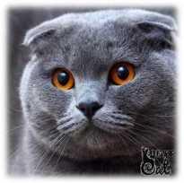 шотландский-кот-фото