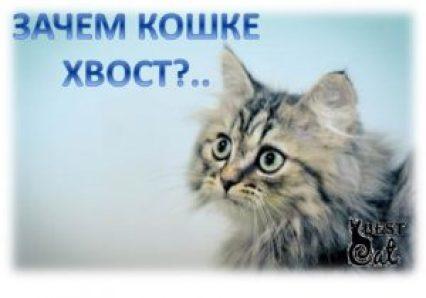 зачем-кошке-хвост-фото