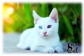 белый-глухой-котенок-фото
