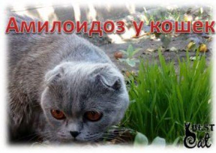амилоидоз-у-кошки-фото