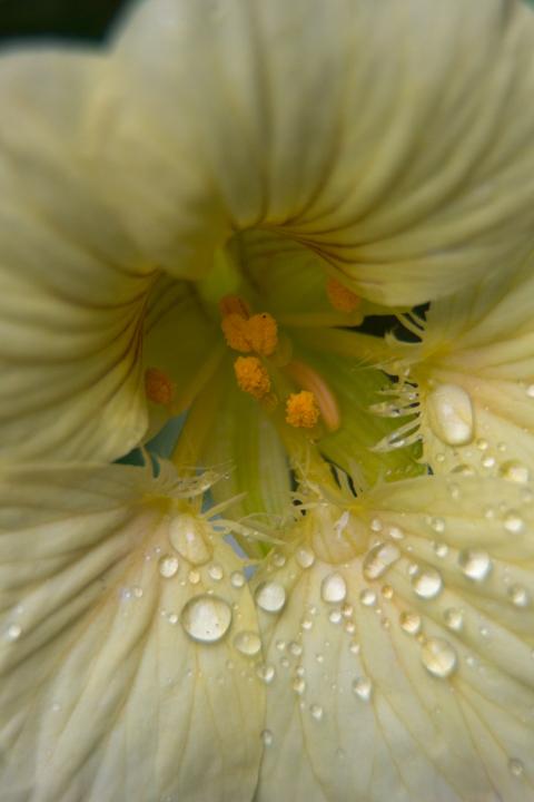 Nasturtium after rain