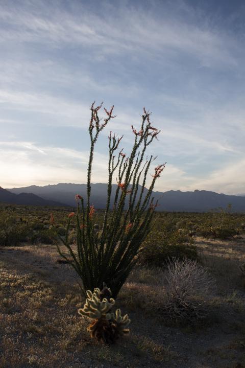 Flowering ocotillo, dusk at Anza Borrego