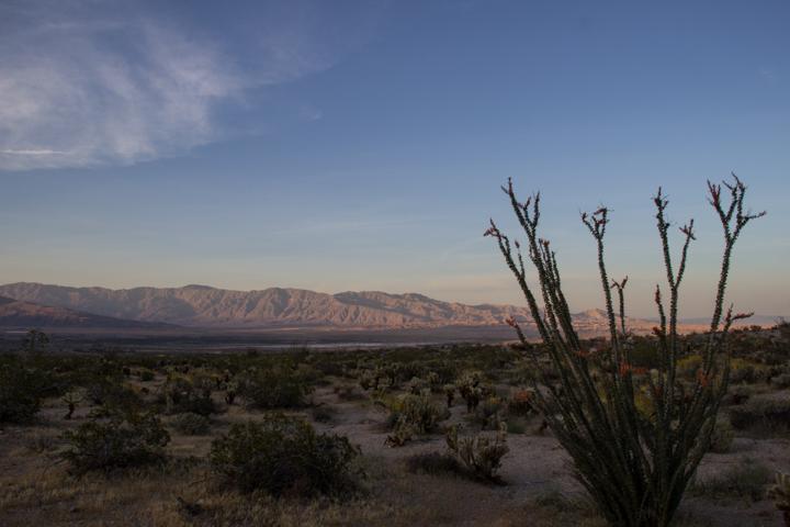 Flowering ocotillo at Anza Borrego Desert
