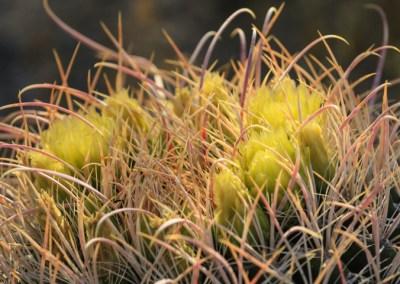Flowering barrel cactus3