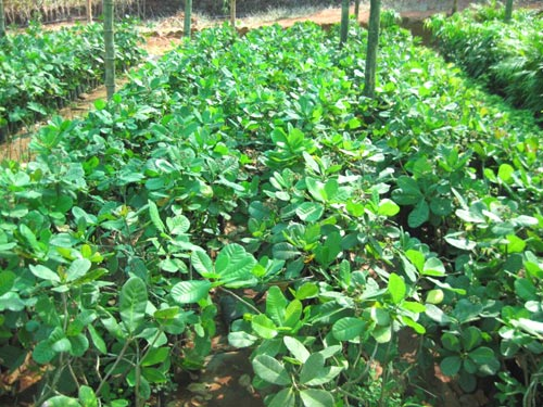 Cashew Nut PlantsHybrid Cashew Nut PlantsCashew Nut Tree