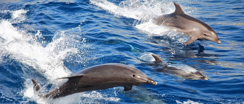 Tenerife dolphin watching with Catamaran Tenerife