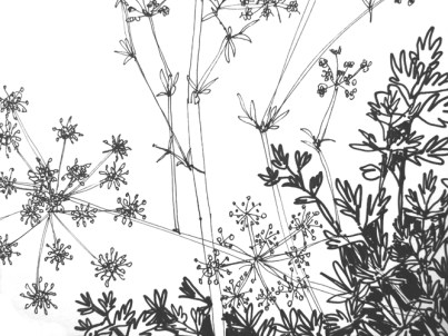 Weekly Sketch – Parsley Blooms – 18/08/2012