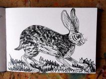 Long Eared Hare, pen sketch © Catherine Cronin
