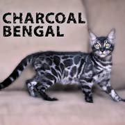 Bengal kittens for sale in Bengal cattery