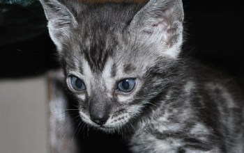 Silver Bengal kittens for sale