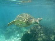 Swimming with honu in Black Rock, Kaanapali Beach, Maui