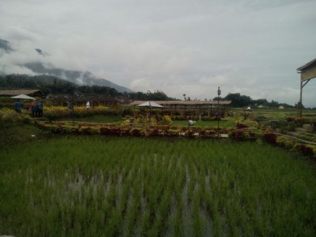Hamparan tanaman padi dengan bunga-bunga dipematangnya