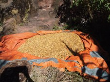 teff grain picked through by the nuns of Lalibela