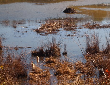 fuzzy cattails and beaver lodge