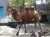 pacing camel