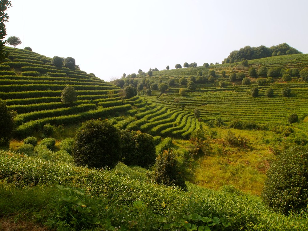 the seven star tea plantation and return to yangshuo (3/6)