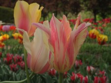 Tulips at Dumbarton Oaks