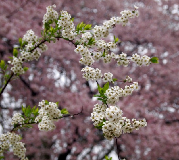 blossoms at Shinjuku