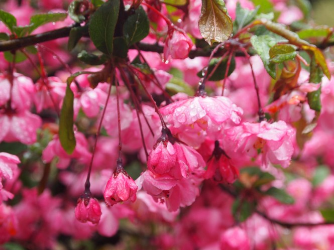 raindrops on blossoms