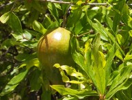 green pomegranate at Wekan, Oman