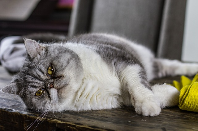 signs of diabetes in cats