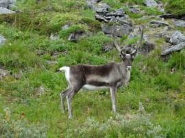 reindyr