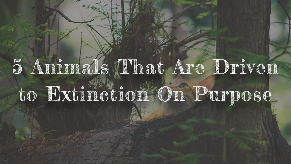5 Animals that are driven to Extinction On Purpose.