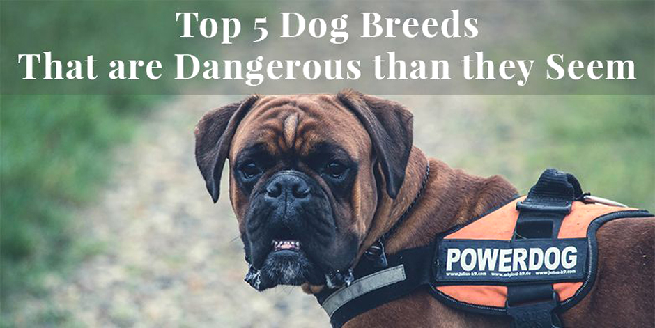 Top 5 Dog Breeds That are Dangerous than they Seem.