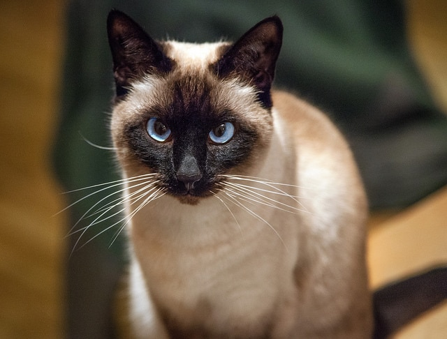 Five Hypoallergenic Cat Breeds - Cat Clinic at Cherry Hill