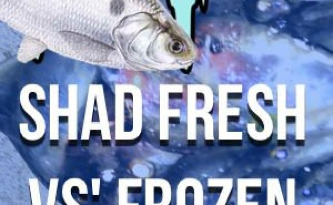Frozen Shad For Catfish Bait How To Freeze Shad And More