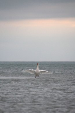 Swan_Float_Wings