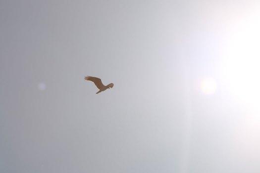 IMG_8173_osprey