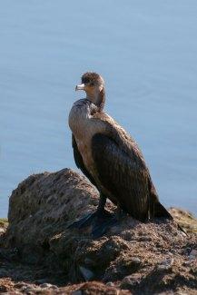 IMG_8279_cormorant
