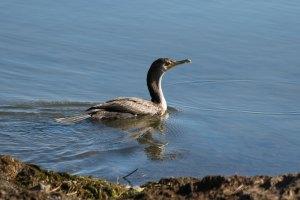 IMG_8325_cormorant