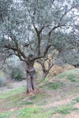 olive_tree_woman_dancing