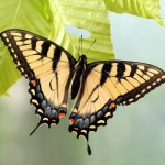 The Butterfly about to Release from the Cocoon