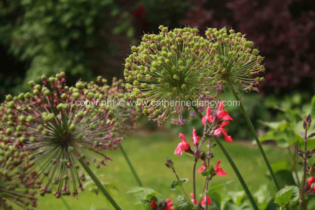 blackheath-walled-garden-allium