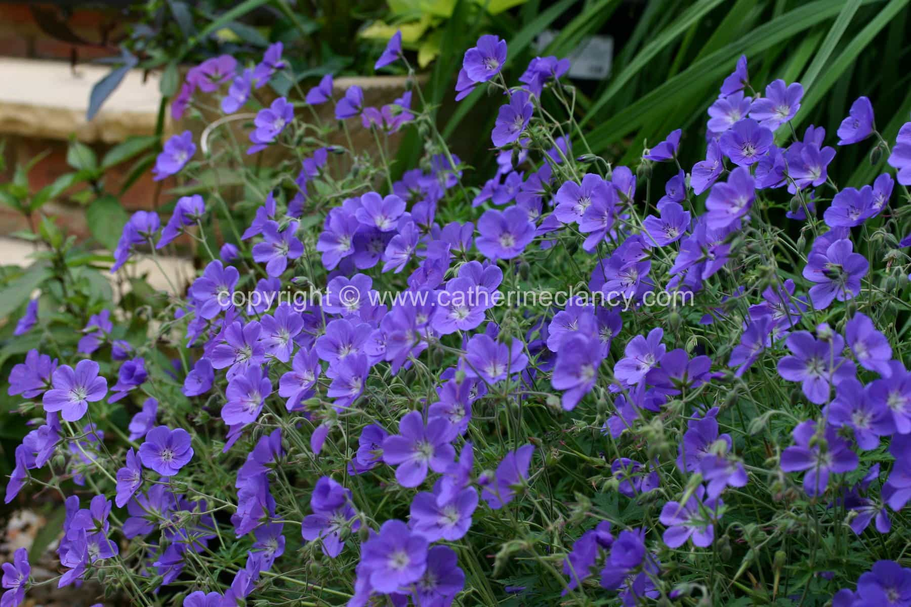blackheath-walled-garden-geranium