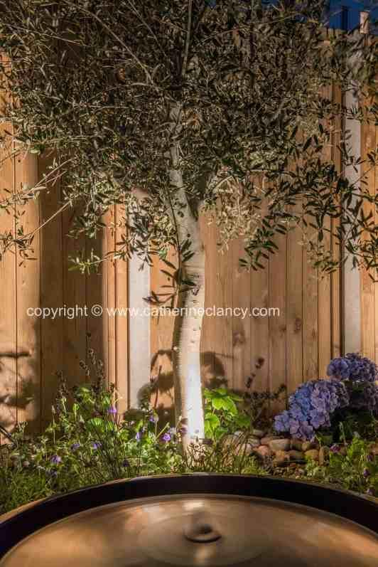 uplighting an olive tree