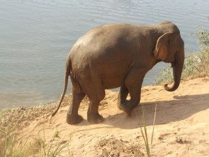 Elephant walking out of river
