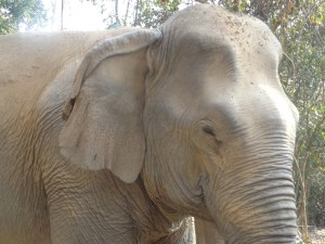 Sideview of elephant