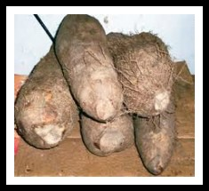 Larger yams, not the ones in a new yam festival..