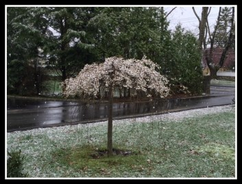 Snow falling on weeping cherry, in April!