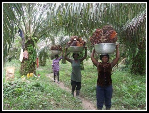 Carrying palm bunches