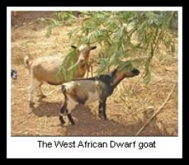 African goats