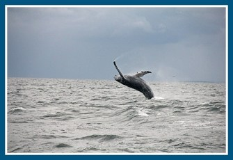 A humpback from the Maritime Aquarium website