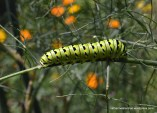 A Black Swallowtail Butterfly caterpillar rests after a day of eating fennel. It's amazing that a caterpillar can survive and thrive on only one plant. The orange blobs in the background are cosmos flowers, which the adult butterflies get nectar from.