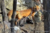 A mother fox scans the forest as her six kits nurse.