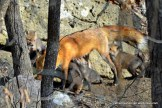 The fox kits try to hang on as the mother fox leaves to take a break from caretaking.